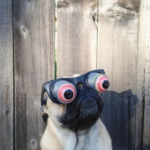 norm-the-pug-selfies.jpg