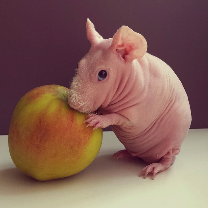 meet_ludwik_a_naked_guinea_pig_from_poland_2016_03.jpg